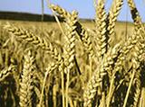 30 nouvelles variétés de blé tendre en 2015