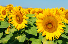 culture-tournesol-1