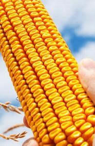 11 nouvelles variétés de maïs en 2012