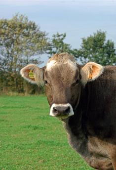 prairiescope elevage vache