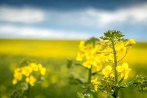 macro shot of a rapeseed with field of rapeseed in the background