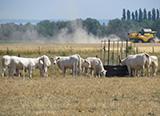 vaches prairie