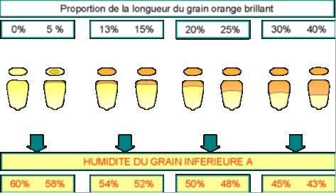 Observation des grains pour déterminer le taux d'humidité
