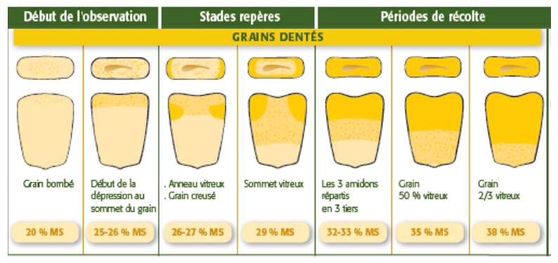 Observation des grains de maïs pour déterminer le taux de matière sèche, pour les grains dentés