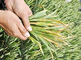 feuille blé tendre