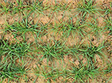 lutte raygrass