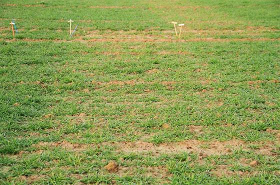 photo raygrass