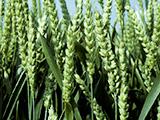 epis blé