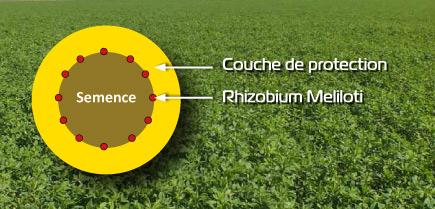 semence rhizactiv