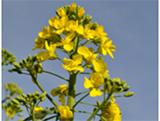 fleur_colza2671117429540039110.jpg[-1_-1xoxar]