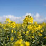 colza_floraison-9_576x383