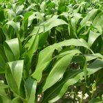 plante-mais-communication (54)_575x432 (1)