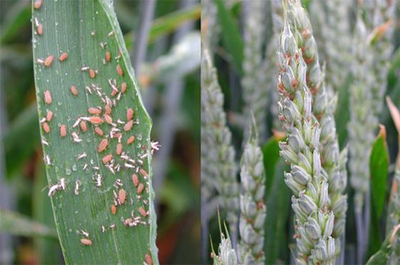 Pucerons des épis sur feuille et épi en juin 2004, ARVALIS - Institut du végétal.