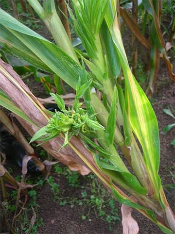 Photo 2: symptômes de mildiou observés sur des plantes ennoyées au stade 4-5 feuilles.