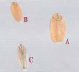 A : grain sain B : petit grain C : grain échaudé