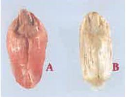 A : grain fusarié rose B : grain fusarié blanc