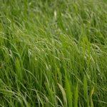 f_ray_grass_5