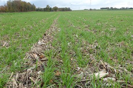 Avec un semoir adapté au semis direct, la présence importante de paille ne constitue pas une gêne à l'implantation mais entraîne un risque fusariose plus important.